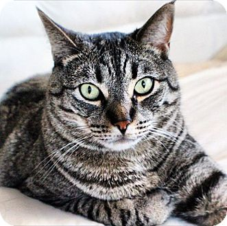 Domestic Shorthair Cat for adoption in Berkeley, California - Oliver