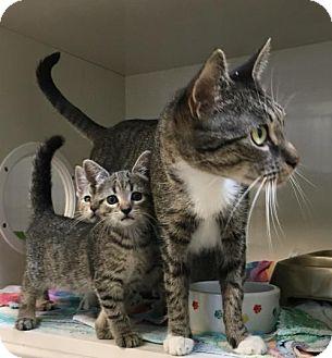 Domestic Shorthair Cat for adoption in Manteo, North Carolina - Sammi Jo