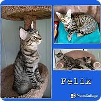 Adopt A Pet :: Felix - Arlington/Ft Worth, TX