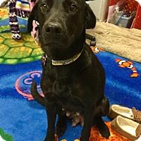 Adopt A Pet :: Shenandoah - Grafton, WI