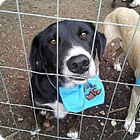 Adopt A Pet :: Bear - Puyallup, WA