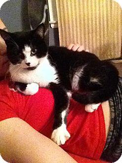 Domestic Shorthair Cat for adoption in london, Ontario - Shera
