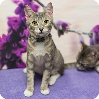 Domestic Shorthair Cat for adoption in Houston, Texas - Topanga