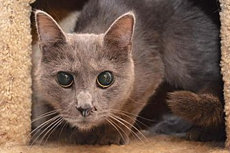 Domestic Shorthair Cat for adoption in Middletown, Ohio - Betty