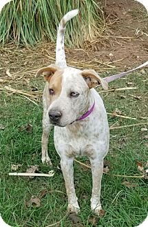 Australian Cattle Dog Mix Dog for adoption in Cat Spring, Texas - Rosie