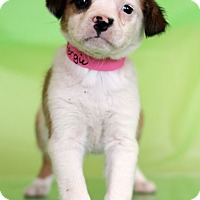 Adopt A Pet :: Fergie - Waldorf, MD