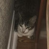 Adopt A Pet :: Tigger - Santa Fe, TX