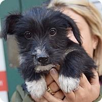 Adopt A Pet :: Skittles - New York, NY