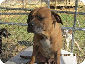 Mastiff/Boxer Mix Dog for adoption in Afton, Tennessee - Wally