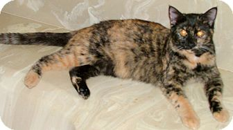 Domestic Shorthair Kitten for adoption in Chattanooga, Tennessee - Gemma