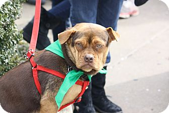 Boston Terrier Mix Dog for adoption in North Wales, Pennsylvania - Cora
