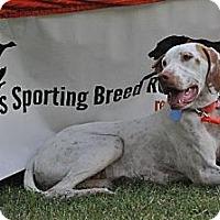 English Pointer Dog for adoption in Denton, Texas - Scout
