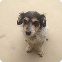 Adopt A Pet :: Tilly - Oceanside, CA