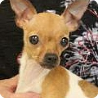 Adopt A Pet :: Fawn - Shawnee Mission, KS