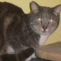 Domestic Shorthair Cat for adoption in Tustin, California - Selena