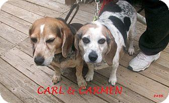 Beagle Dog for adoption in Ventnor City, New Jersey - CARMEN & CARL