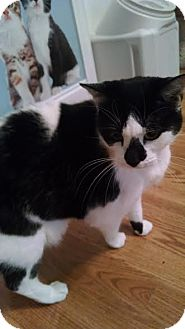 Domestic Shorthair Cat for adoption in Concord, North Carolina - Jewels