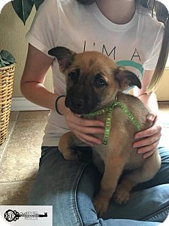 Black Mouth Cur/Shepherd (Unknown Type) Mix Puppy for adoption in DeForest, Wisconsin - Sherry