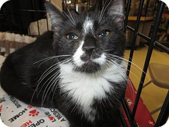 American Shorthair Kitten for adoption in Ellicott City, Maryland - .Gage