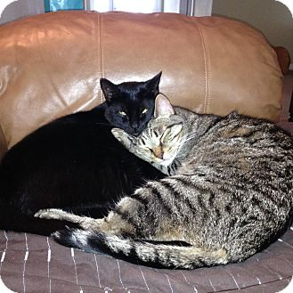 Domestic Shorthair Cat for adoption in Sarasota, Florida - Mitzie and Kitkat