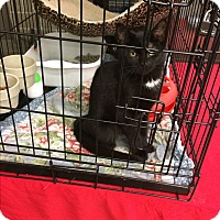 Adopt A Pet :: Young kittys - Clay, NY