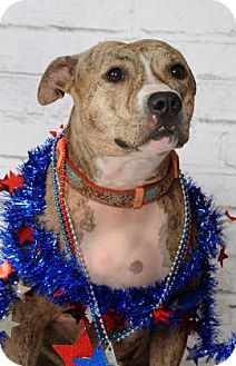 American Pit Bull Terrier Mix Dog for adoption in Titusville, Florida - Star