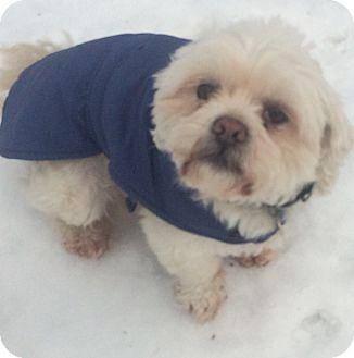 Lhasa Apso/Shih Tzu Mix Dog for adoption in Oak Ridge, New Jersey - Ty