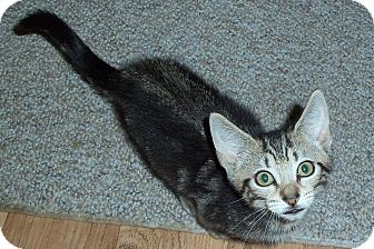 Domestic Shorthair Kitten for adoption in Catasauqua, Pennsylvania - Theodore