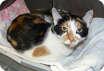 Domestic Shorthair Cat for adoption in Dover, Ohio - Skittles