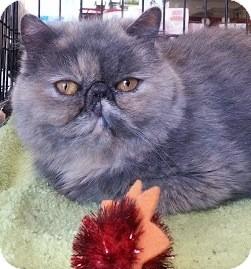 Exotic Cat for adoption in Beverly Hills, California - Clara