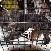 Adopt A Pet :: Noel - Scottsdale, AZ
