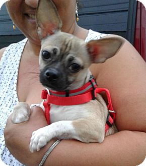 Pug/Chihuahua Mix Puppy for adoption in Bronx, New York - Sugar
