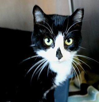 Domestic Shorthair Cat for adoption in Hilton Head, South Carolina - Deanna