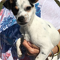 Adopt A Pet :: Lolly in San Antonio/Seguin - San Antonio, TX
