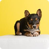 Adopt A Pet :: Belle - Ogden, UT