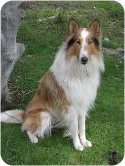 Collie Dog for adoption in San Diego, California - Tei Aroha