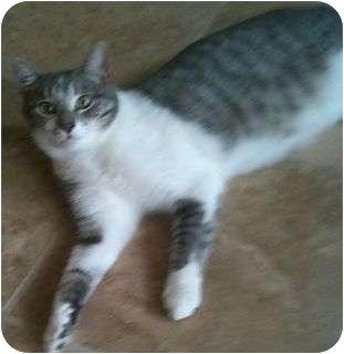 Domestic Shorthair Cat for adoption in Schertz, Texas - Shiloh