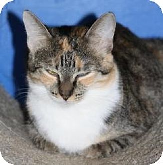 Domestic Shorthair Cat for adoption in Mission Viejo, California - Mysty