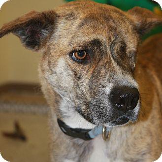 Terrier (Unknown Type, Medium)/Shepherd (Unknown Type) Mix Dog for adoption in Phoenix, Arizona - Amber