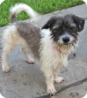 Schnauzer (Miniature)/Terrier (Unknown Type, Small) Mix Dog for adoption in Norwalk, Connecticut - Pickles
