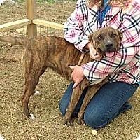 Boxer/Plott Hound Mix Dog for adoption in Hagerstown, Maryland - Roxy-Mae