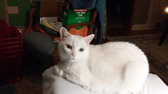 Domestic Shorthair Cat for adoption in Newtown Square, Pennsylvania - Bunny