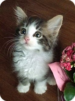 Domestic Mediumhair Kitten for adoption in Troy, Michigan - Prince