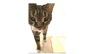 Domestic Shorthair Cat for adoption in Ortonville, Michigan - Fiona