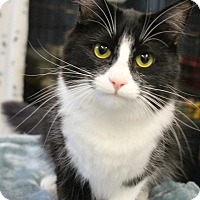 Domestic Longhair Cat for adoption in Yukon, Oklahoma - Olive