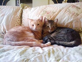 Domestic Shorthair Cat for adoption in Chino Hills, California - Tom