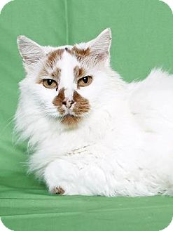 Domestic Longhair Cat for adoption in Gloucester, Virginia - CHICKADEE