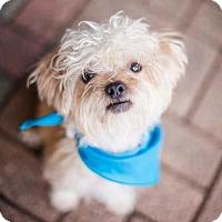 Adopt A Pet :: Groot - Los Angeles, CA
