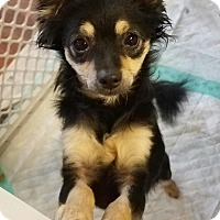 Adopt A Pet :: Scruffette - Flower Mound, TX
