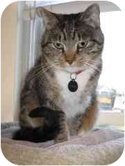 Domestic Shorthair Cat for adoption in Powell, Ohio - Bosley